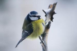 fågel